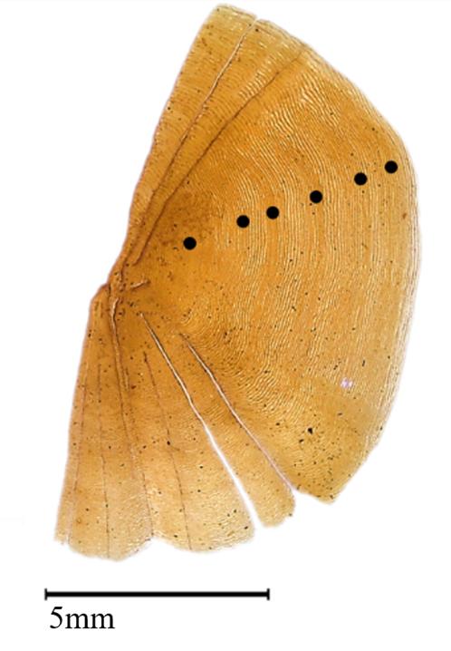 Suurennettu kuva särkikalan suomun puolikkaasta, jonka leveys on 5 millimetriä.