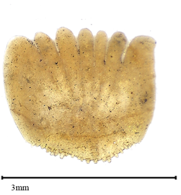 Suurennettu kuva ahvenen suomusta, jonka leveys on 3 millimetriä.